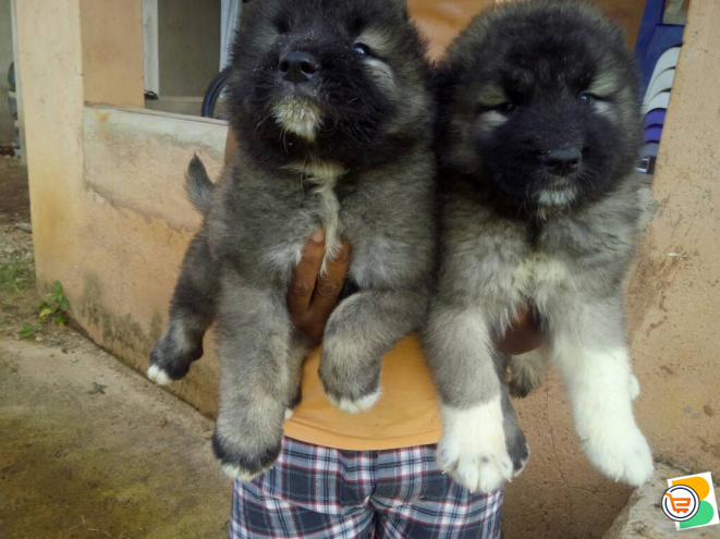 Pure Caucasian Dog/puppy For Sale Contact: 08104035288