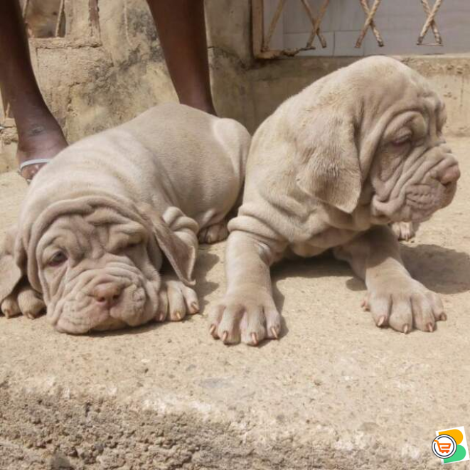 Pure Neapolitan Mastiff Dog/puppy For Sale Contact: 08104035288
