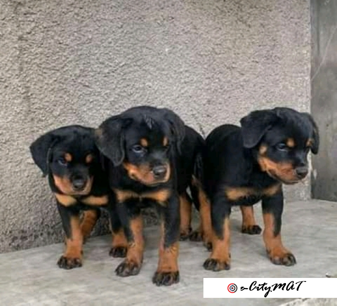 6 weeks pure breed of Rottweiler puppies available for sale