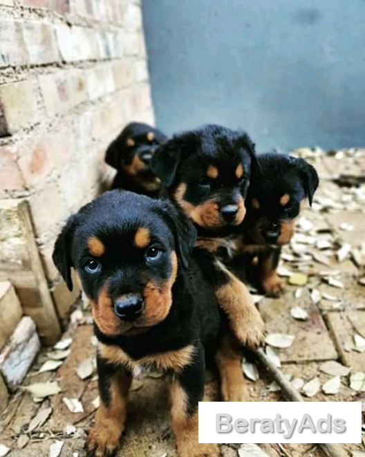 5 weeks pure breed of rottweiler puppies available for sale