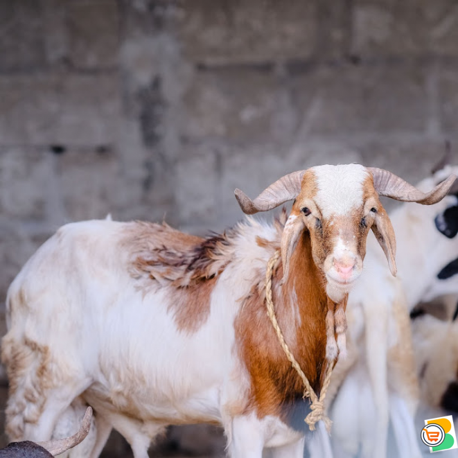 Kalahari goat available for sale