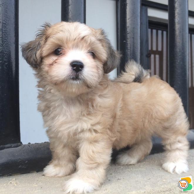 Pure Coton De Tulear Dog/puppy For Sale Contact: 08104035288