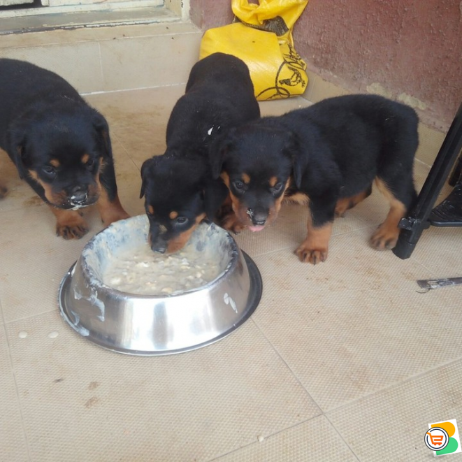 Pure Rottweiler Dog/puppy For Sale Contact: 08104035288
