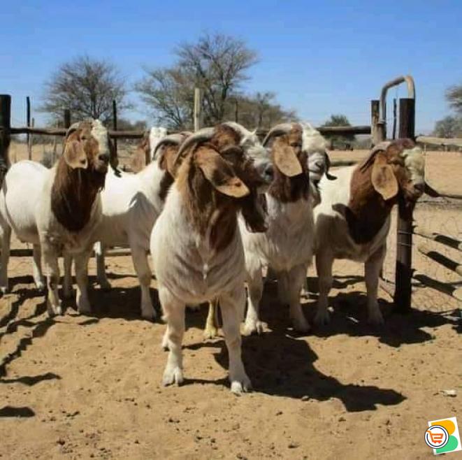 Kalahari red goats