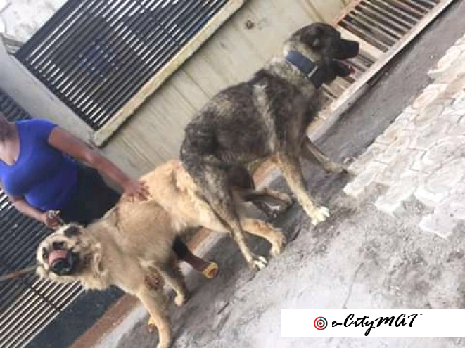 9 months pure breed of Caucasian puppies available for sale