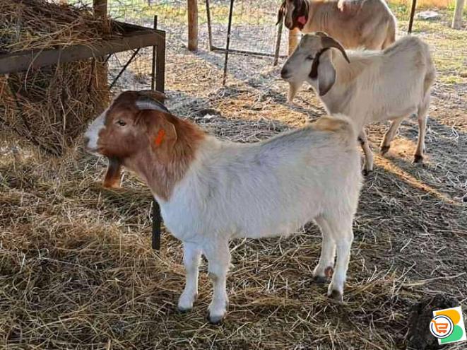 Boar goat for sale